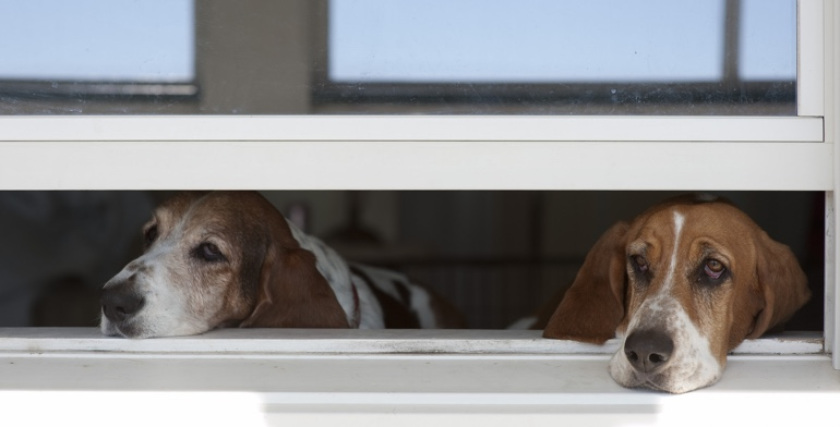 Beagles look out open window without window treatment in Atlanta.